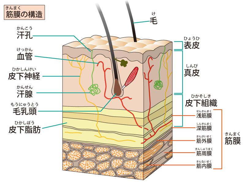筋膜の断面図